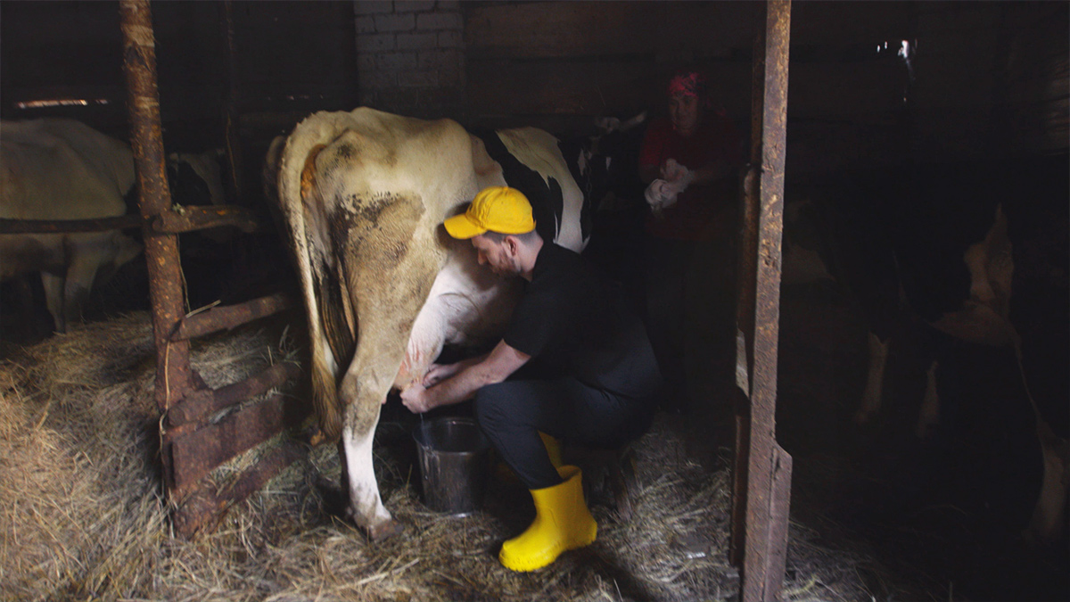 Англичанин доит корову